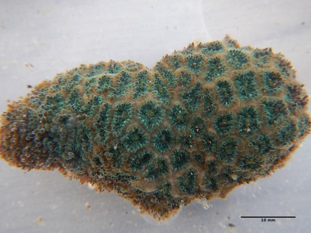 トゲルリサンゴ Leptastrea pruinosa (Crossland, 1952)